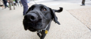 A Miami Criminal Lawyer Explains. Are Drug Dogs Used in Searches Reliable